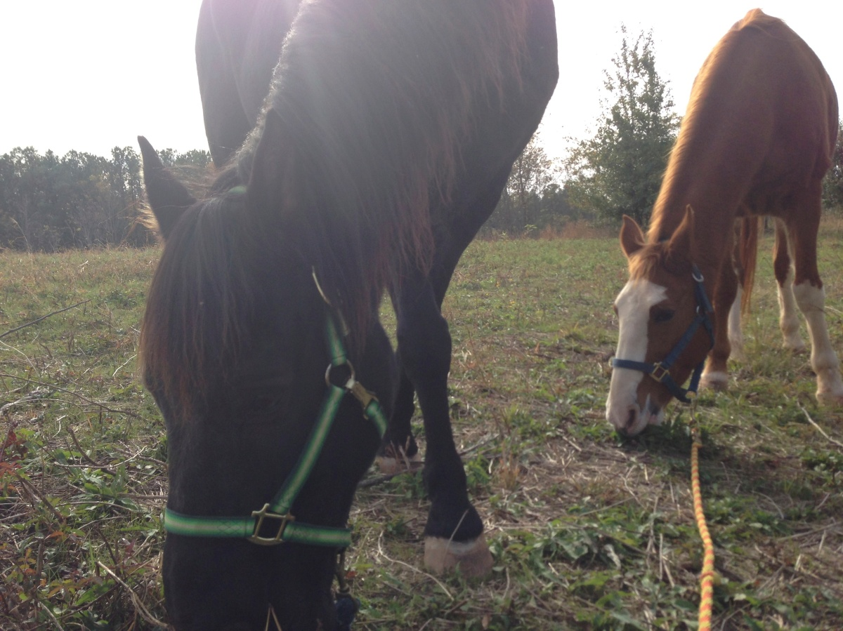 Midnight and Ginger, Tennessee Walking Horses