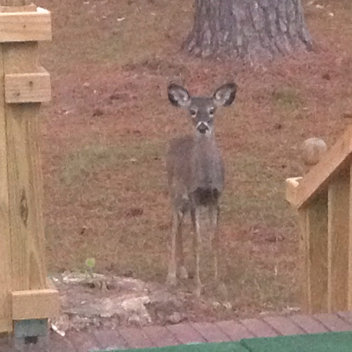 The fawn that wandered into the back yard