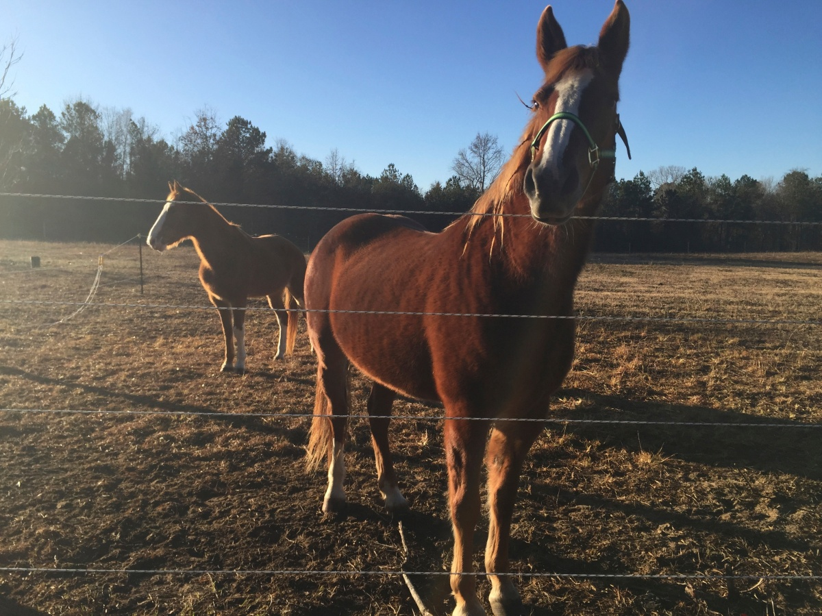 Pumpkin, the Missouri Fox Trotter, and Ginger, the Tennessee Walking Horse