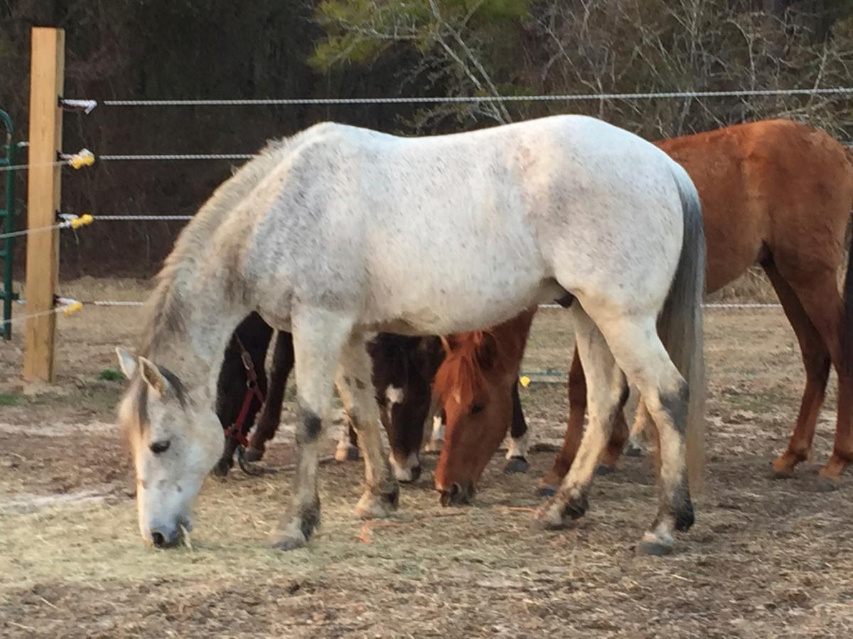 Smokey Jack, Paso Fino horse
