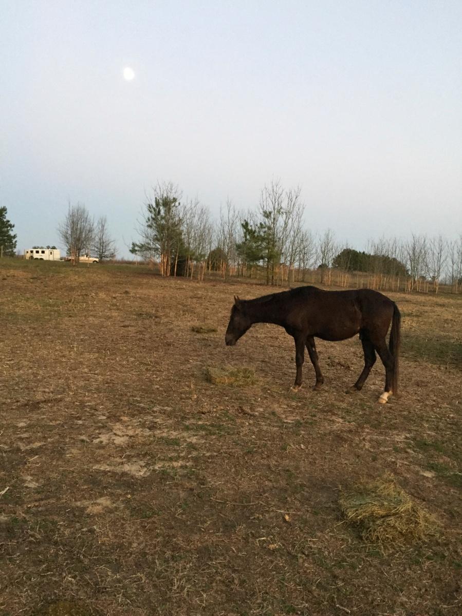 Blackjack, Paso Fino pony