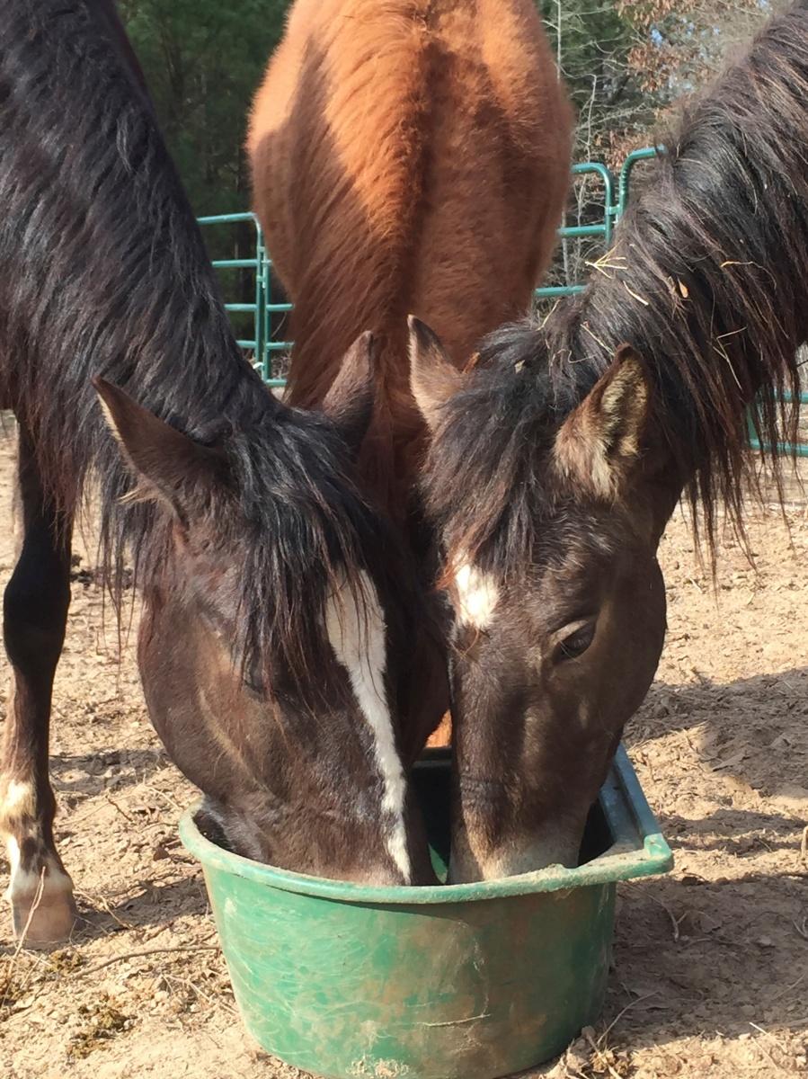 The Paso Fino ponies